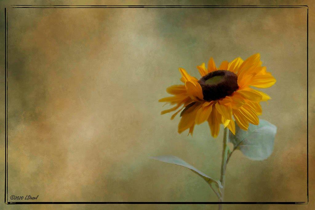 Textured Sunflower by lstasel