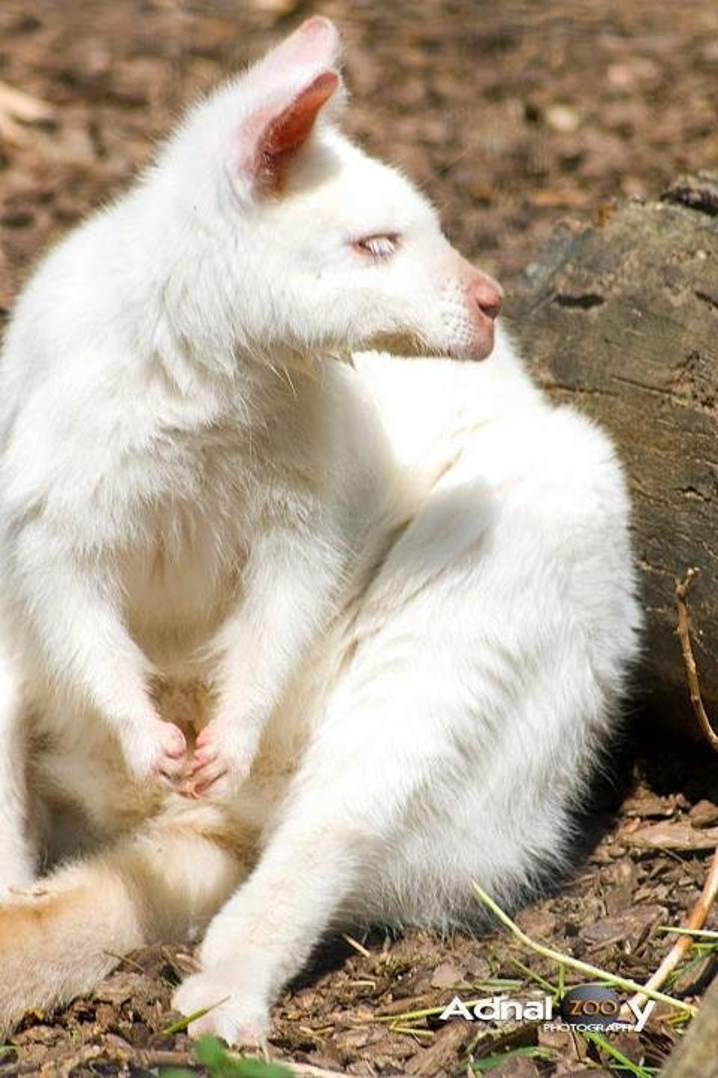 White kangaroo by yolanda