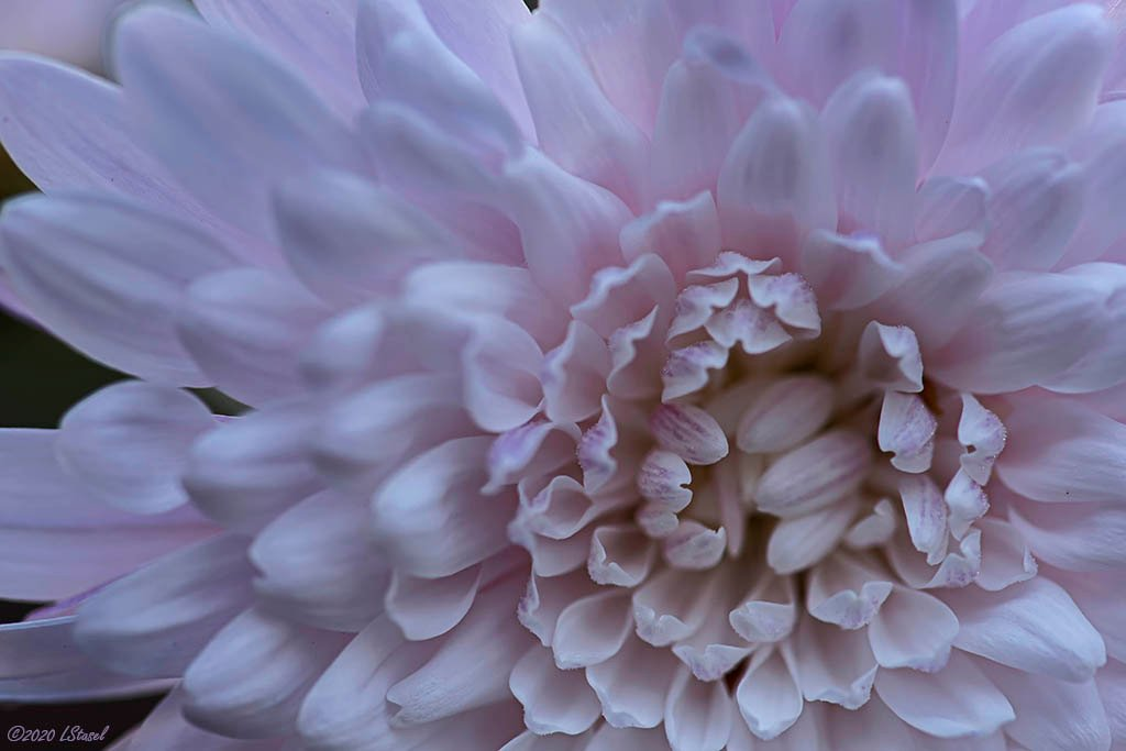 Still Blooming by lstasel
