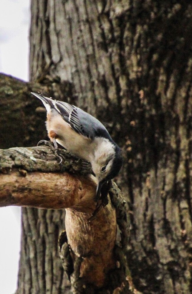 Nuthatch by mzzhope