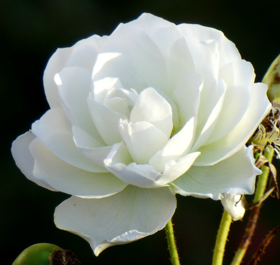White Rose by fishers
