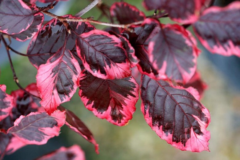 Research....Beech Fagus Purperea Tricolour by happypat