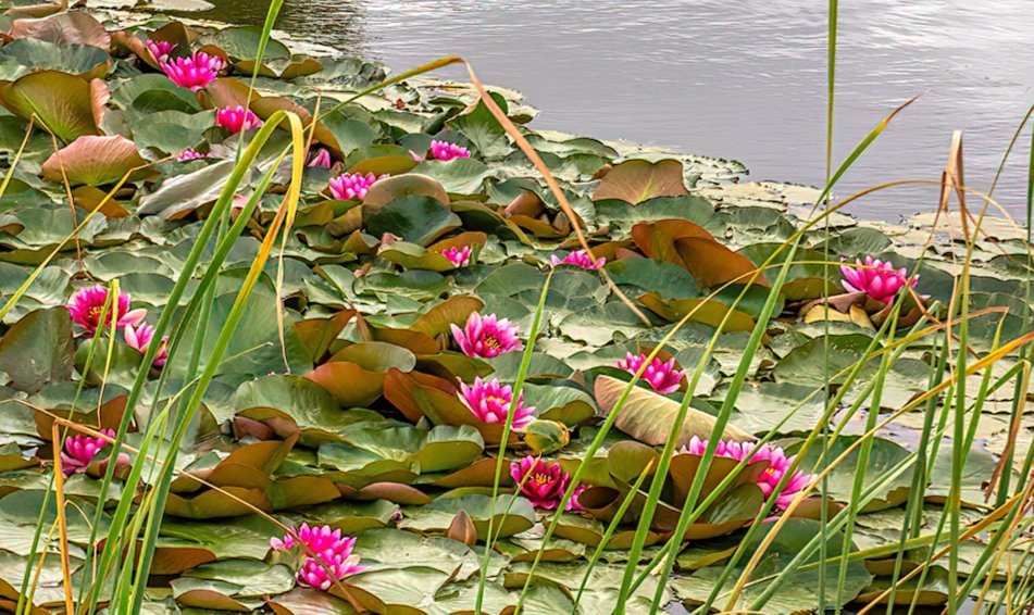 Waterlilies spreading out by ludwigsdiana