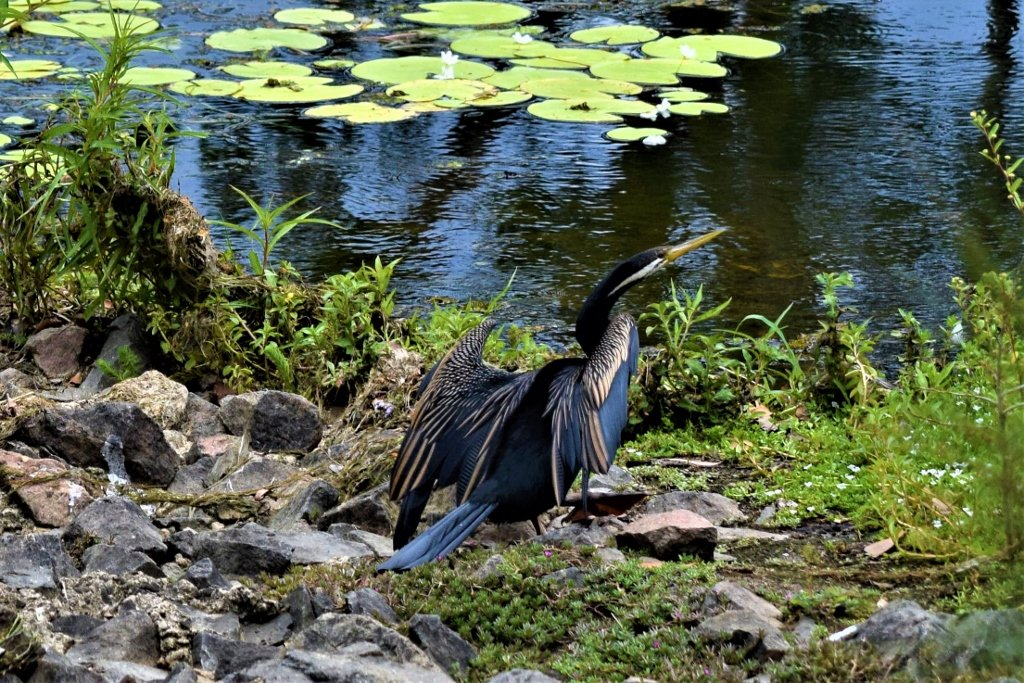 Cormorant In The Sunshine ~ by happysnaps