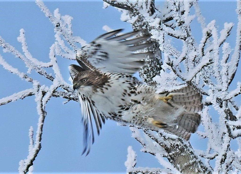Hawk by lynnz