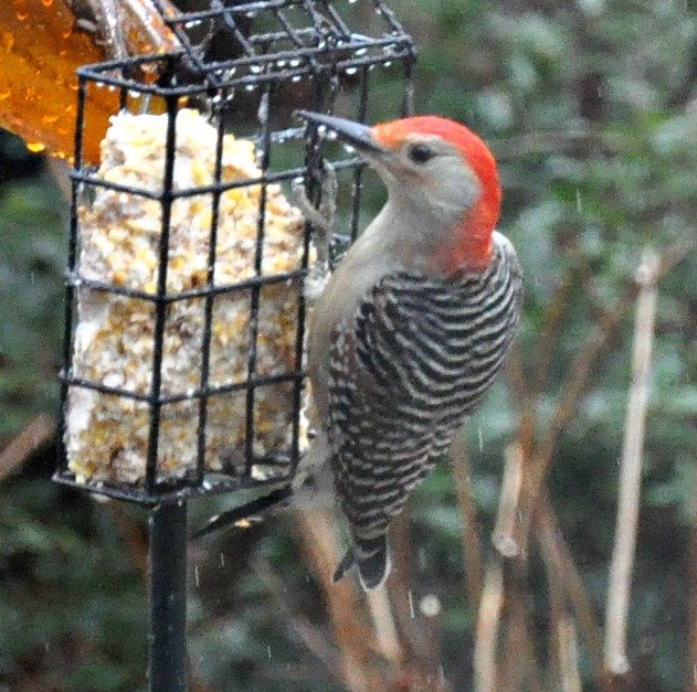 Red bellied woodpecker having suet. by sailingmusic