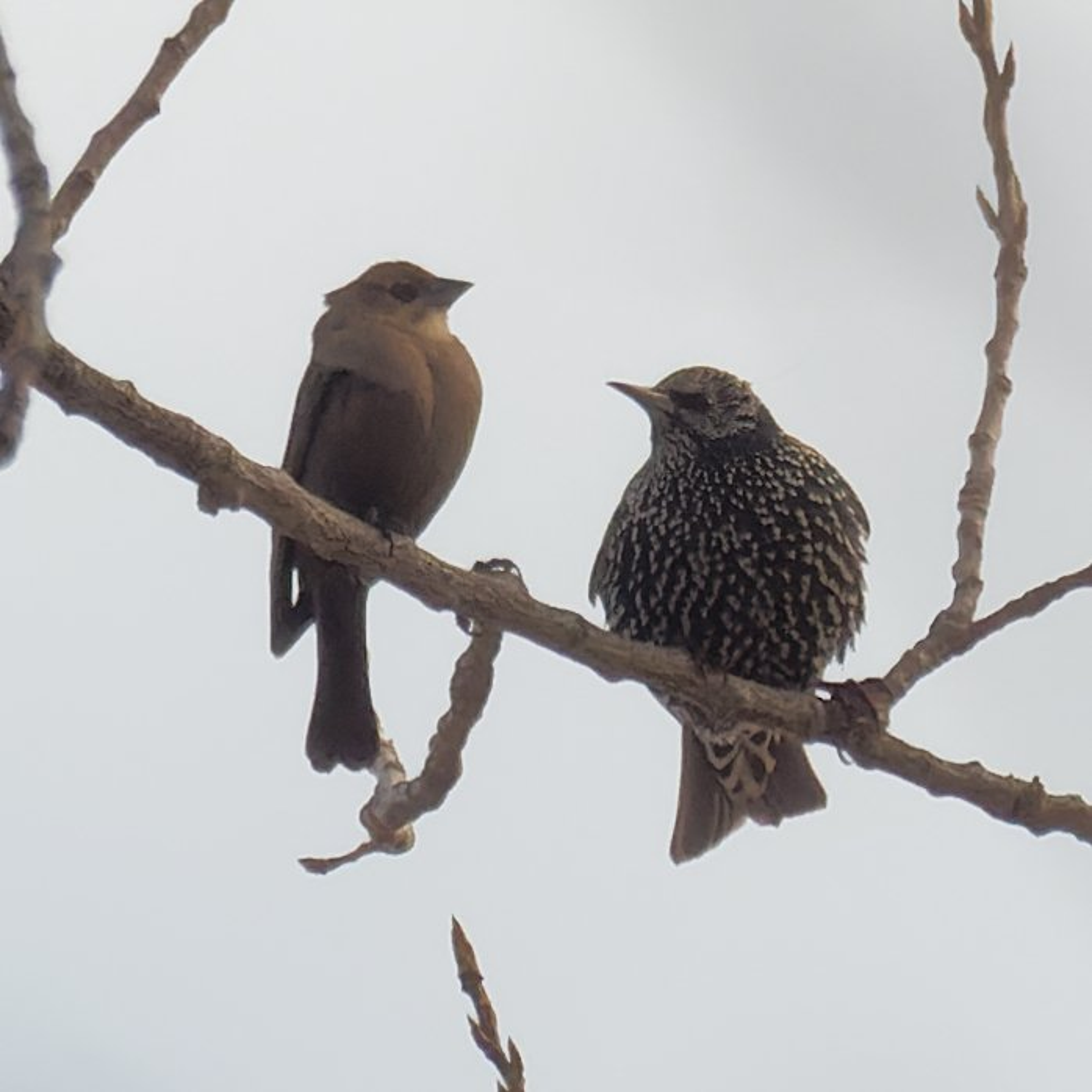 Female brown-headed cowbird and European startling by rminer