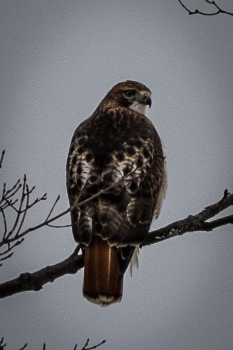 Juvenile Red-Tailed Hawk by mgmurray