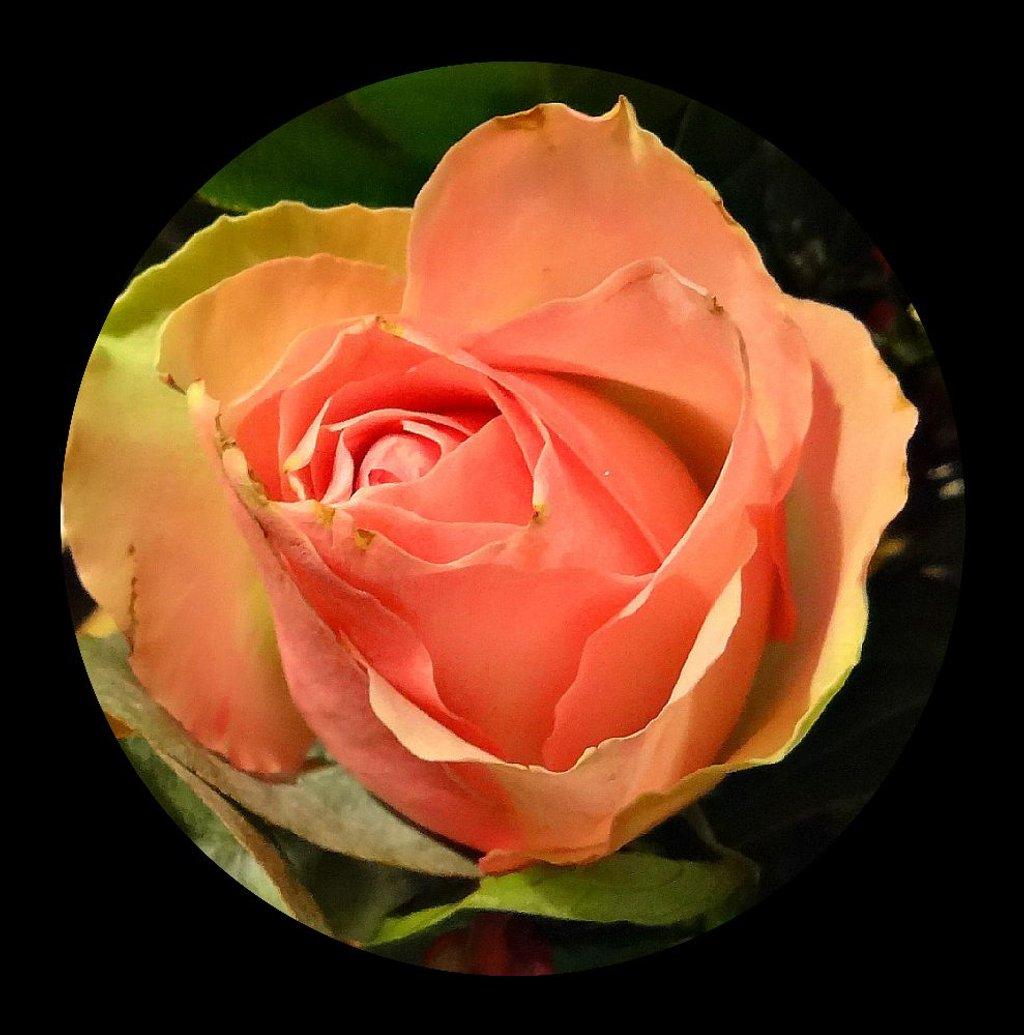 rose by gijsje