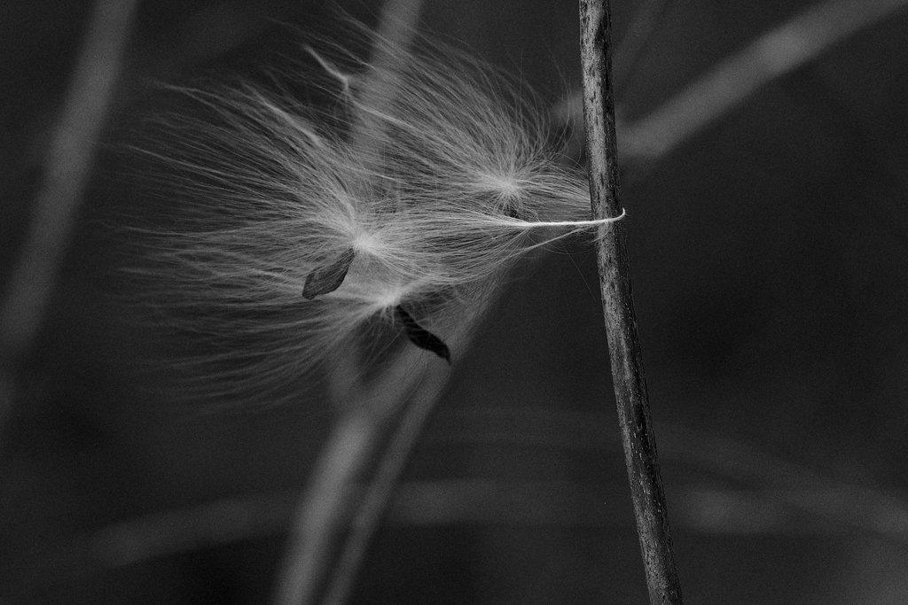 Milkweed, Wind by lsquared
