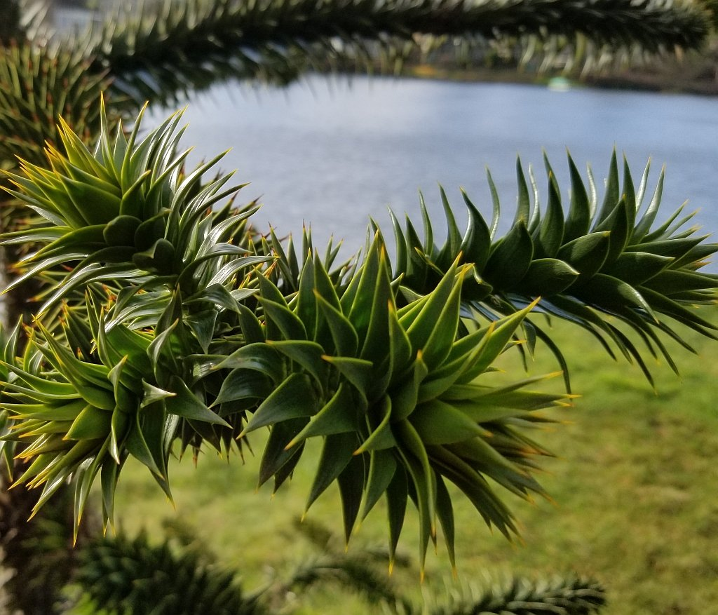 Monkey Puzzle Tree by kimmer50