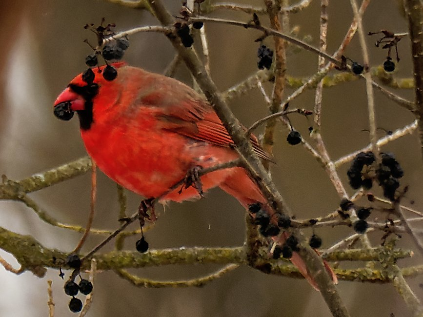 northern cardinal and berries by rminer