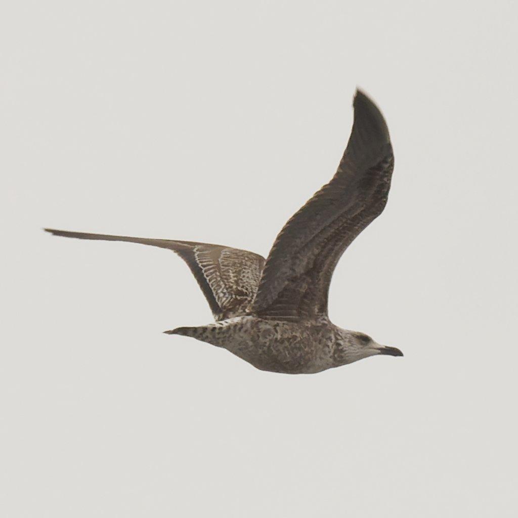 Herring gull  by rminer