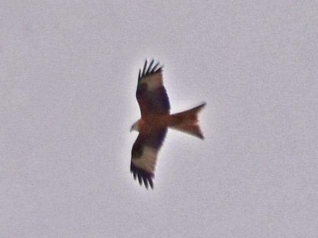 Red Kite by grizzlyadventures