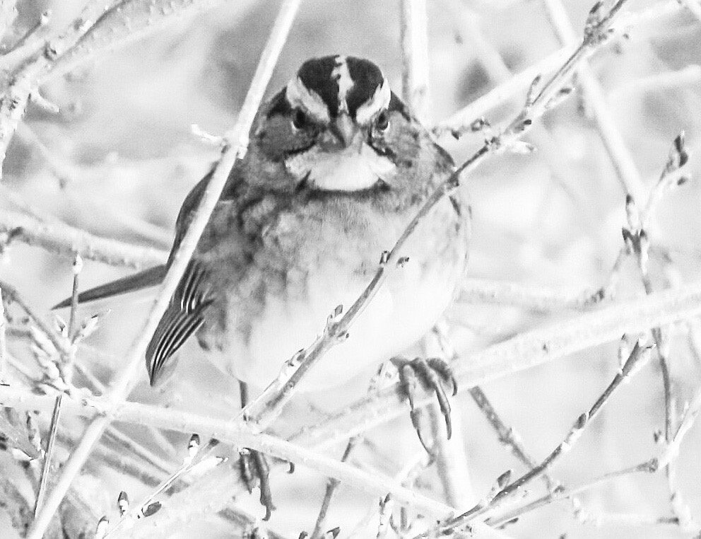 Portrait of a White-Throated Sparrow by mzzhope