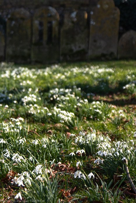 Snowdrop Graveyard by jqf