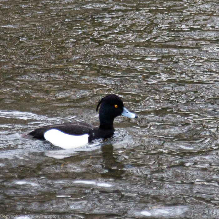 Male Tufted Duck by jqf