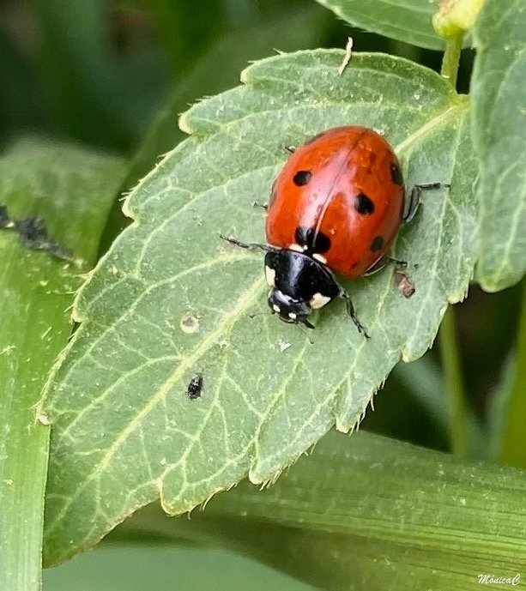 Ladybird hunting by monicac