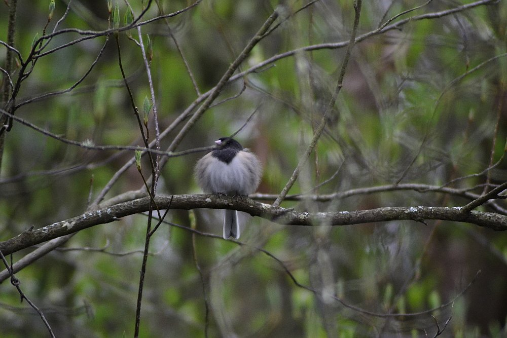 Puffed Up Junco by stephomy