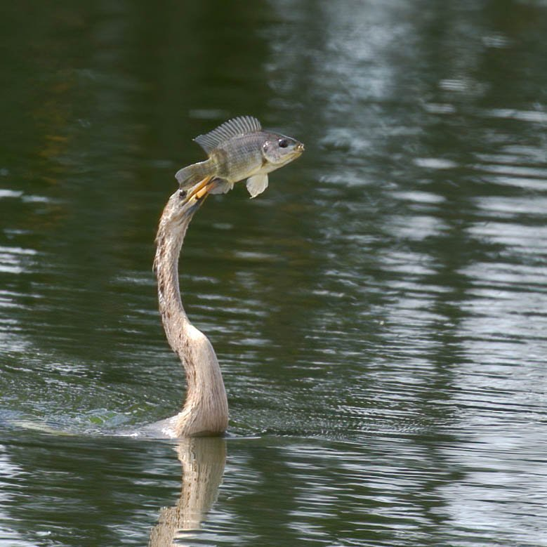 Anhinga showing off its catch.  by dutchothotmailcom
