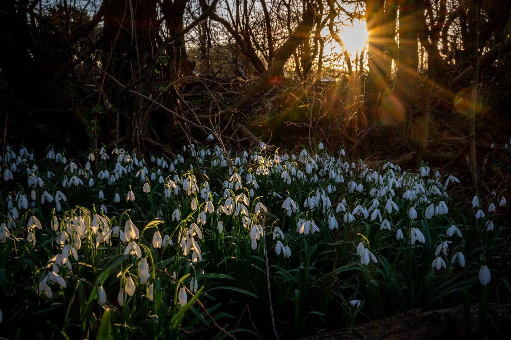 Snowdrops at Sunset  by rjb71