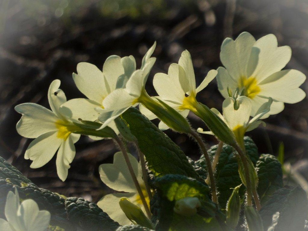 Pretty primrose by helenhall