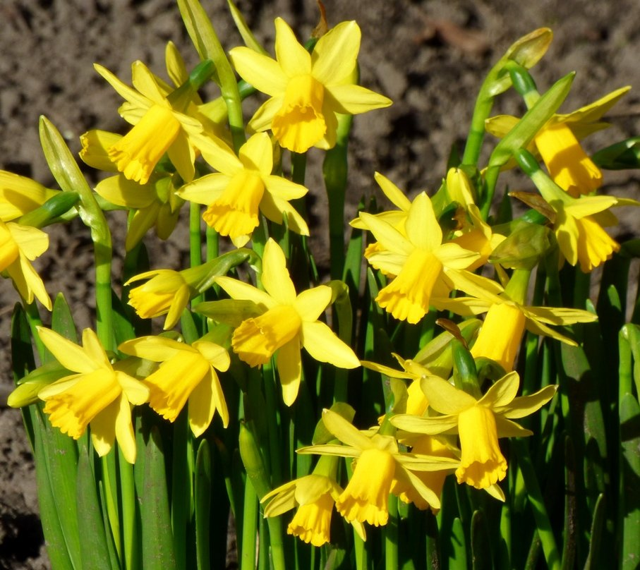 Miniature Daffodils by fishers
