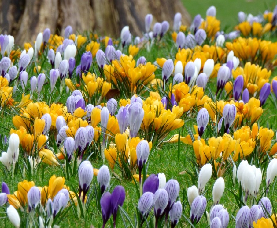 Carpet of Crocuses by fishers