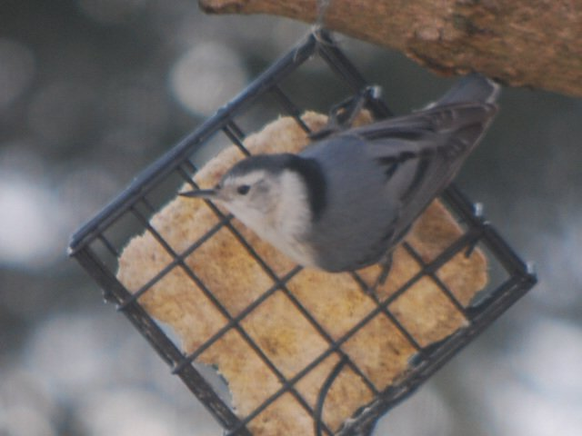 white breasted nuthatch by stillmoments33