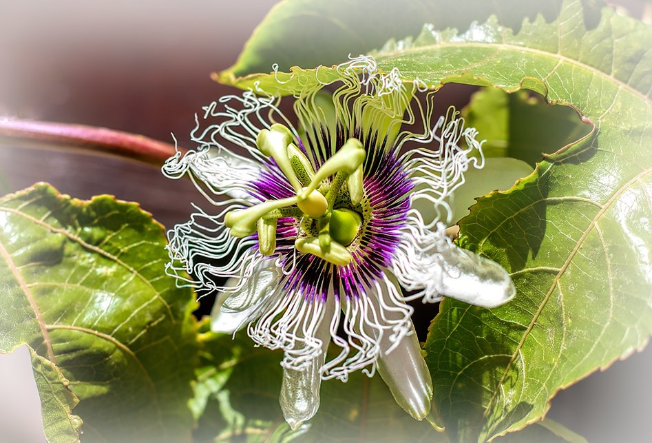 Passion fruit flower by ludwigsdiana