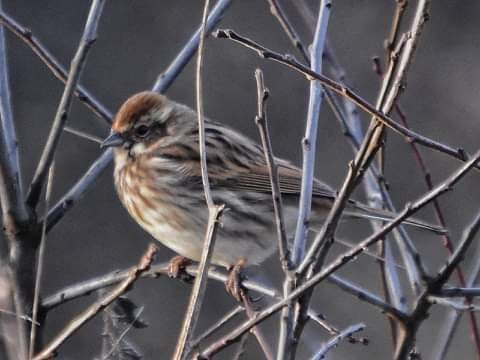 Reed Bunting  by grizzlyadventures