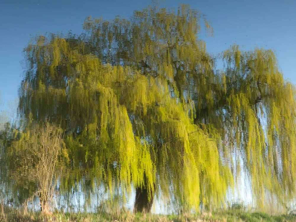 willow in watercolour by helenhall