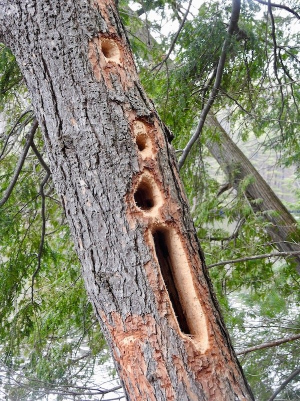 The Work Of A Pileated Woodpecker by sunnygreenwood