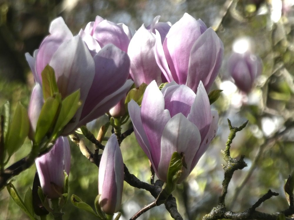 Magnolia of Battersea Park by helenhall