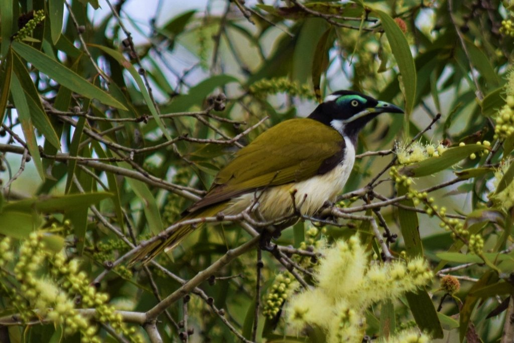 Blue Faced Honeyeater ~             by happysnaps