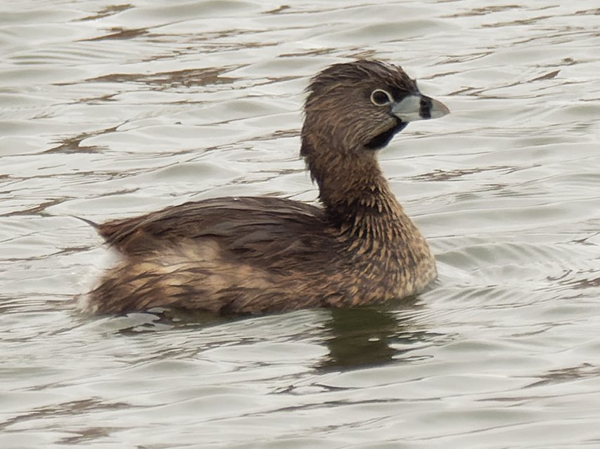 pied-billed grebe  by rminer