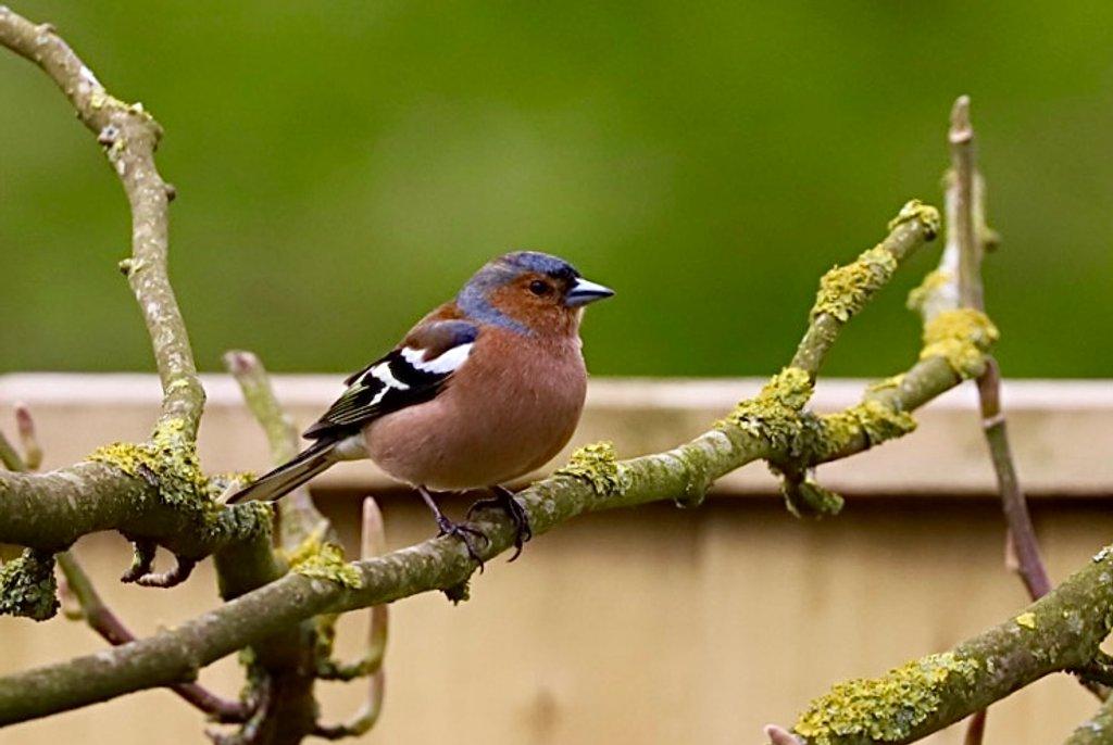 Male Chaffinch by carole_sandford