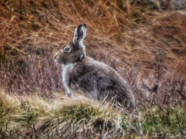 Mountain Hare by grizzlyadventures
