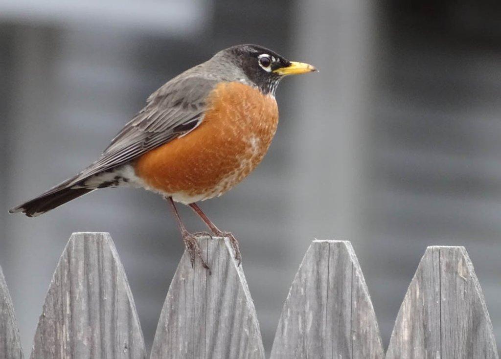 American Robin by joansmor