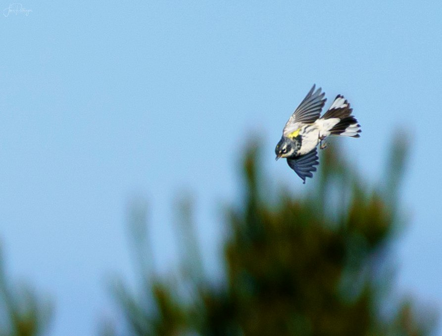 Yellow Rumped Warbler In Flight by jgpittenger