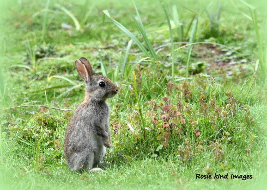Little bunny by rosiekind
