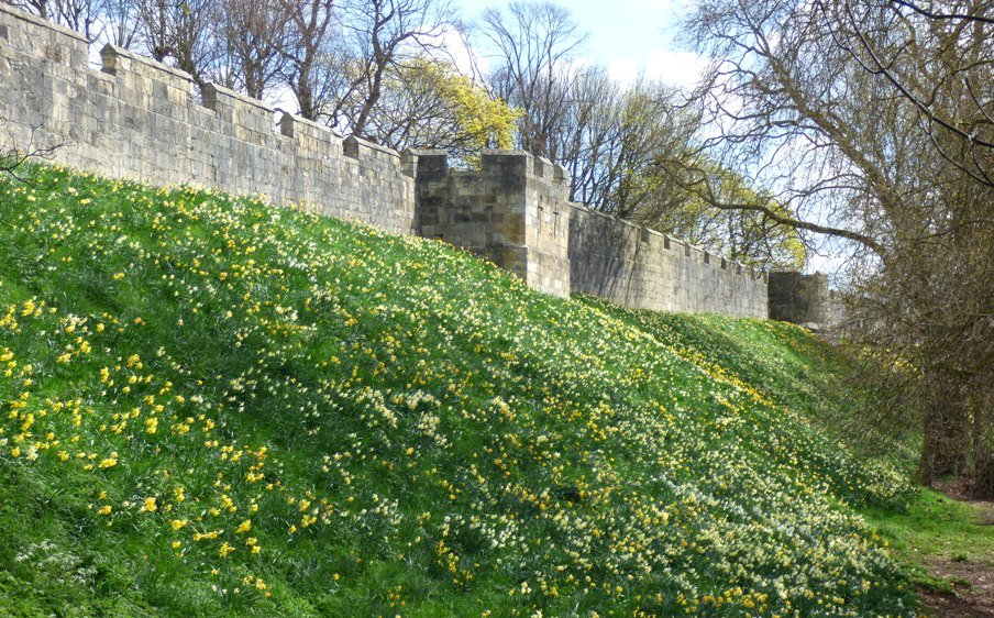 Daffodils along York City Walls by fishers