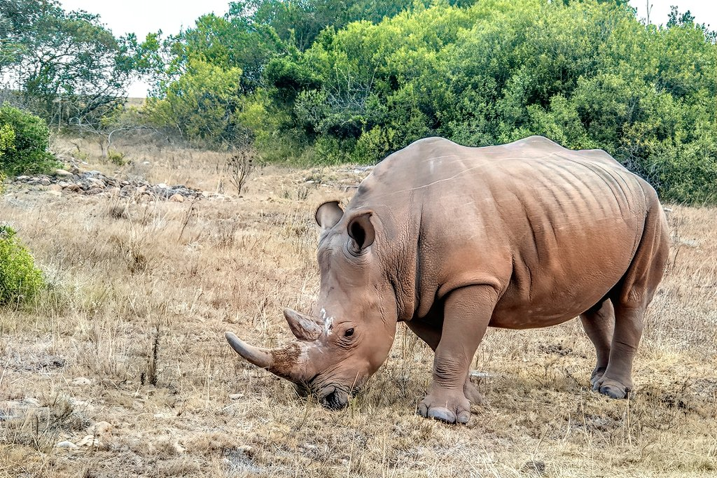 This Rhino was peacefully grazing by ludwigsdiana