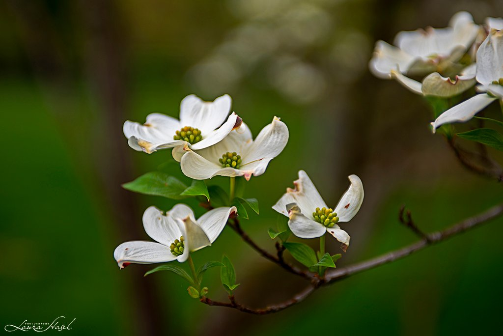 Dogwood by lstasel
