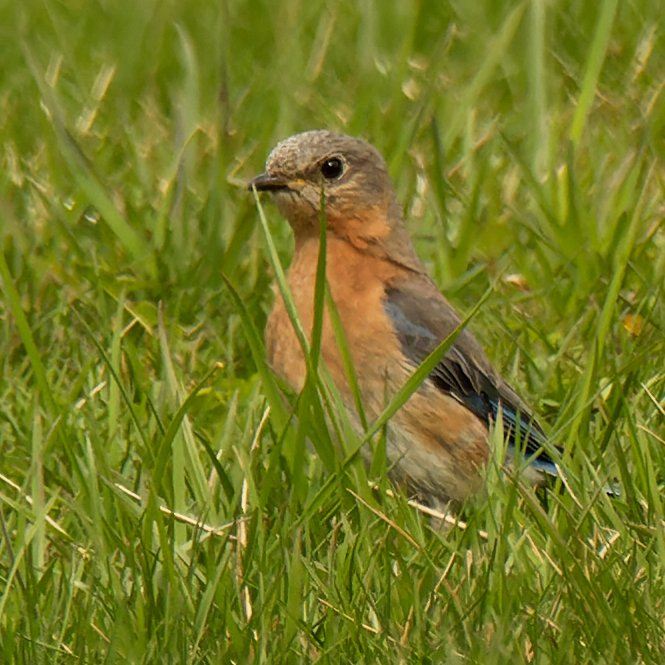 eastern bluebird in the grass by rminer