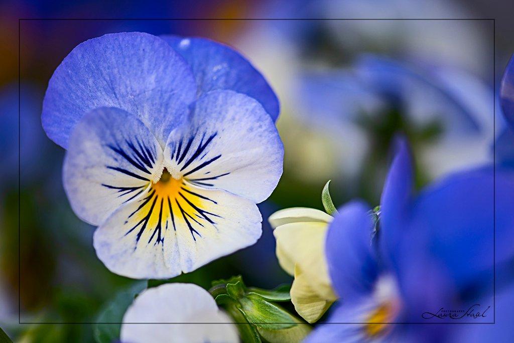 Violas by lstasel