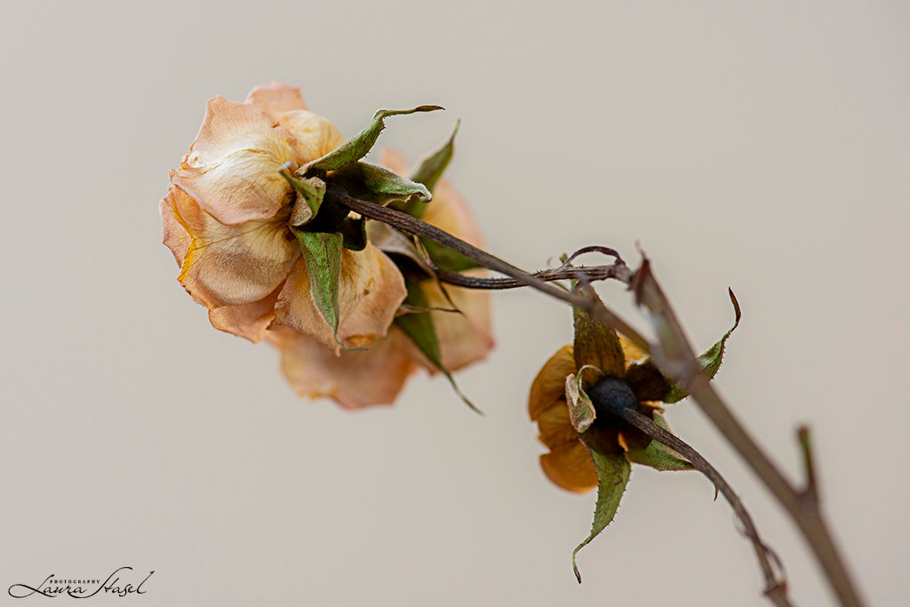 Roses by lstasel