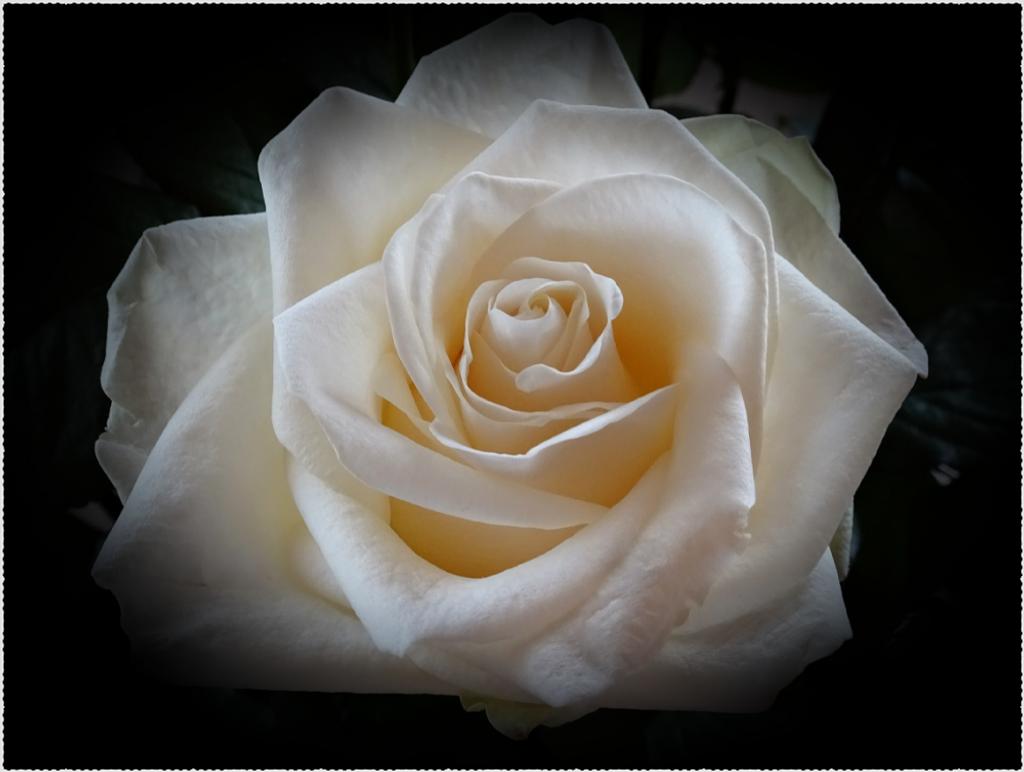 white rose by gijsje