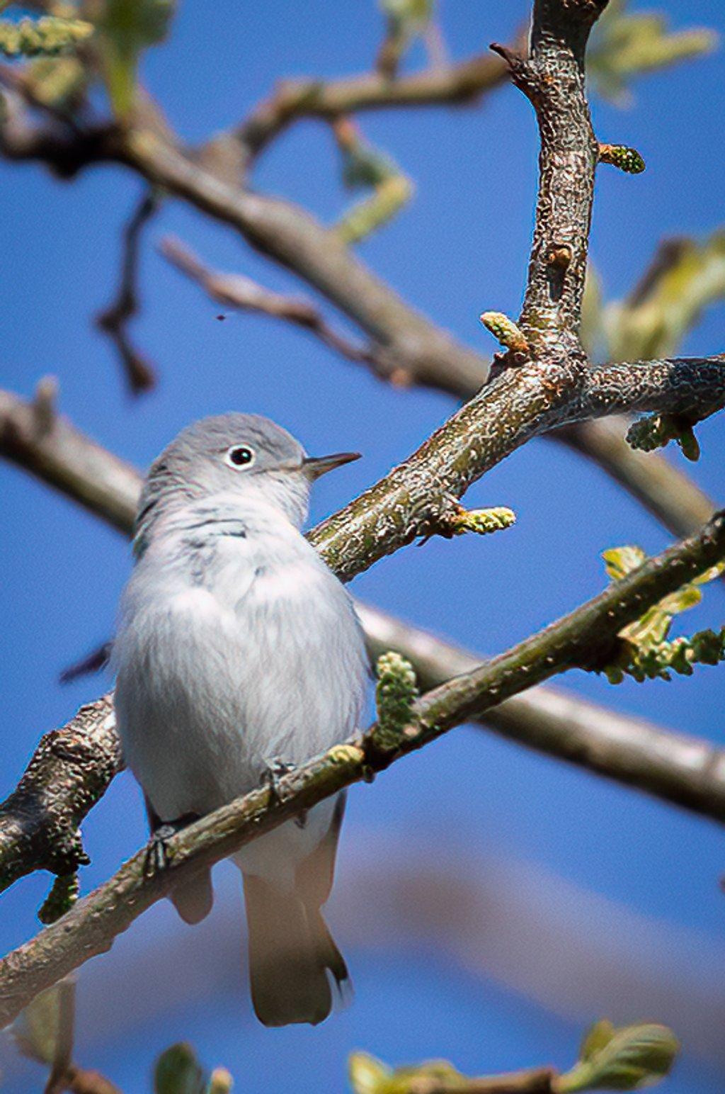Blue-Gray Gnatcatcher by jyokota