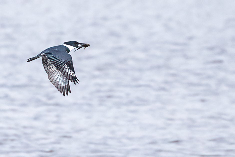 Belted Kingfisher with his dinner by jyokota